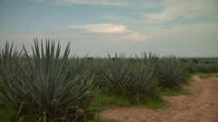 Agave plants in field - stock footage