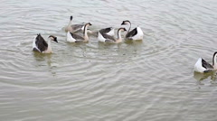 Group of thai goose on the river Stock Footage