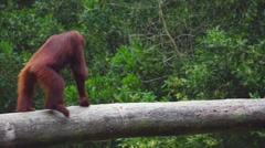 Adult Orang Utan Stock Footage