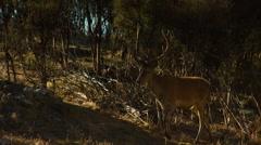 Deer walking in forest Stock Footage