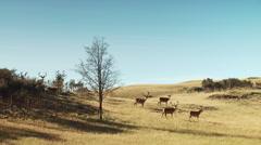 Herd of deer on grassland Stock Footage