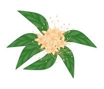 Orange Bush Willow Flower or Combretum Erythrophyllum Flower Stock Illustration