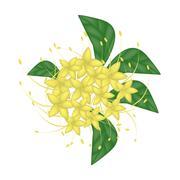Yellow Bush Willow Flower or Combretum Erythrophyllum Flower - stock illustration