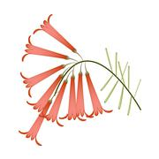 Brunch of Red Blossoms of Firecracker Flowers - stock illustration