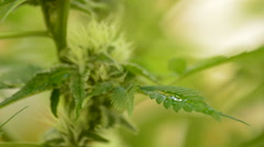 Leaves and bud of marijuana cannabis with water droplets in outdoor Stock Footage