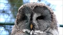 Owl Strix nebulosa, Bartkauz Stock Footage