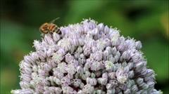 Bee on flower Allium leeks Buds, Summer Stock Footage