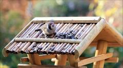 Feeding wild sparrow birds, Passer montanus Stock Footage