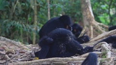 Funny Embarrassed Spider Monkey Stock Footage
