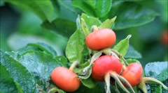 Ripe rose hip fruit in the nature, Rosa canina Stock Footage