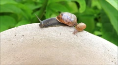 Stock Video Footage of snail and baby snail Helix pomatia, edible snail, macro