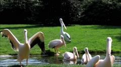 Pelican Pelecanus onocrotalus Stock Footage