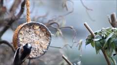 Wild bird Aegithalos caudatus, tailed tit, feeding in winter Stock Footage