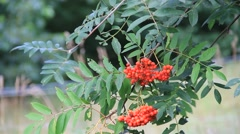 Rowan berry on tree in the nature, Sorbus aucuparia Stock Footage