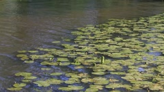Landscape pond with yellow water lily, Nuphar lutea Stock Footage