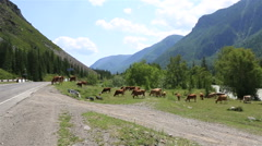 Herd of cows grazing near river Chuya and Chuysky Trakt Stock Footage