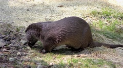 4K footage of a European otter Stock Footage