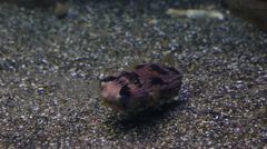 Tetraodon is a genus in the pufferfish family Stock Footage