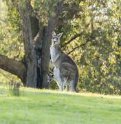 Kangaroo mother with baby joey - stock photo