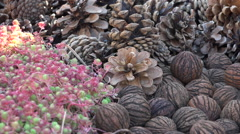 Pines, fir cones, walnuts & pink vegetable moss - close up shot Stock Footage