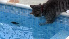 Cat catches frog in swimming pool Stock Footage