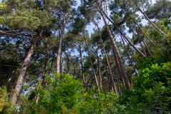 Pine forest at daylight tree summer bush landscape - stock photo