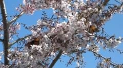 Monarch Butterflies in Blossoming Cherry Tree Stock Footage