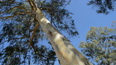 Eucalyptus tree a sunny day. Stock Footage