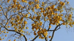 Blooming Kowhai Tree - stock footage