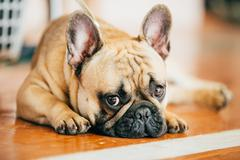 The French Bulldog is a small breed of domestic dog - stock photo
