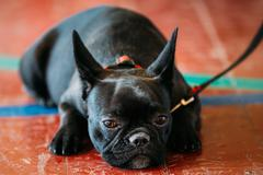 The French Bulldog is a small breed of domestic dog. Sad Black D - stock photo