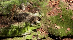 4K footage of Wildcat (Felis silvestris) kittens Stock Footage