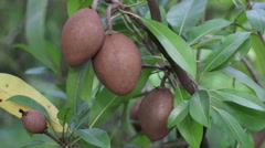 HD footage close up Sapodilla fruit on tree branch - stock footage