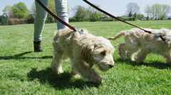 4K Young woman walking 2 cute puppies in the park Stock Footage