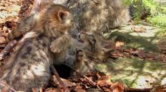 4K footage of Wildcat (Felis silvestris) kittens - stock footage