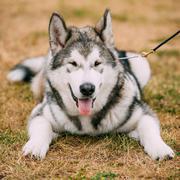 Young Happy Alaskan Malamute Puppy Dog Stock Photos