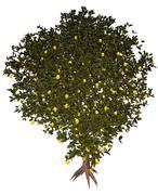 Lemon tree - 3D render Piirros