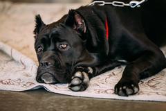 Cane Corso Whelp Puppy Dog Close - stock photo