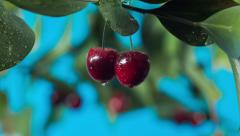 Ripe cherries on a branch Stock Footage