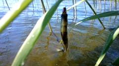 summer perch fishing bait - stock footage