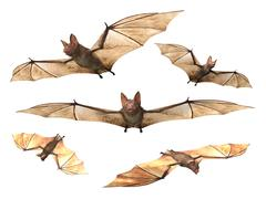 Flying bats white background Piirros