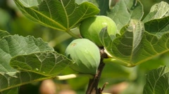 Fig branch with fruit and leaves. Stock Footage