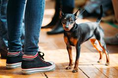 Small Young Black Miniature Pinscher Pincher dog staying on old - stock photo