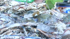 blue swimmer crab - stock footage