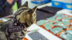 Cat walk on tailor table playing with cloth - stock footage