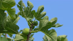 Fig branch with fruit and leaves. - stock footage
