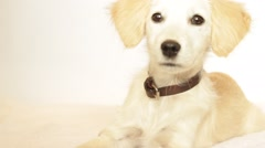 beautiful labrador puppy looks attentively - stock footage