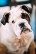 Young White and Brown English Bulldog Dog - stock photo