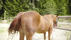 Brown horse on leash waving with long tail 4K Stock Footage
