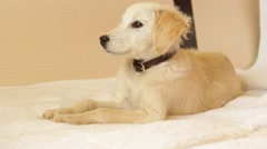 puppy looks attentively - stock footage